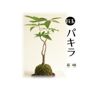 苔玉 パキラ 縁起物!「発財樹」で開店祝に最適!|niigata025
