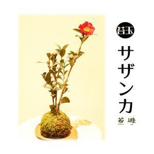 苔玉 山茶花 サザンカ 花言葉は「困難にうちかつ」!|niigata025