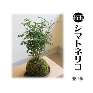 苔玉  シマトネリコ  大人気の苔玉!|niigata025