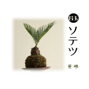 苔玉 ソテツ 南国の風 種子島産!|niigata025