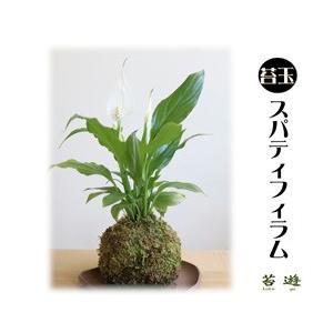 苔玉  スパティフィラム 風水で運気アップ! 大人気の苔玉!|niigata025