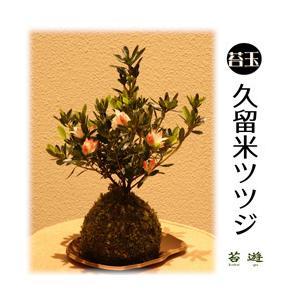 苔玉 久留米ツツジ 花言葉は「情熱」!|niigata025
