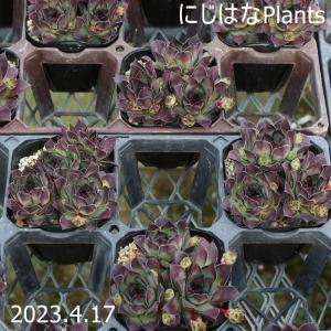 センペルビブム マルモレウム Sempervivum marmoreum 原種(バルカン半島) 小型...