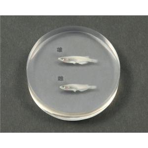 メダカの雌雄標本 nijiiromarket