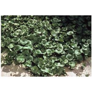 ダイコンドラ デイカンドラ 緑葉種 1kg