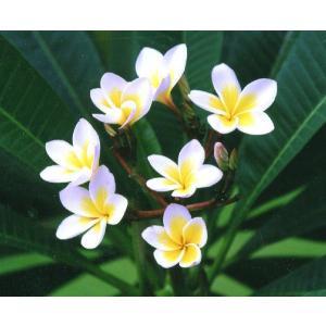 ハワイを代表する花木で、ハワイやタヒチなどの南国では、このプルメリアの花が歓迎、お祝い事に用いられる...