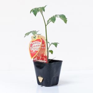 トマトベリーキューピット 9cmポット苗 2本セット