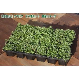 【送料込】イワダレソウ改良種「クラピア K7(24本セット)」(花色:白)9cmポット苗