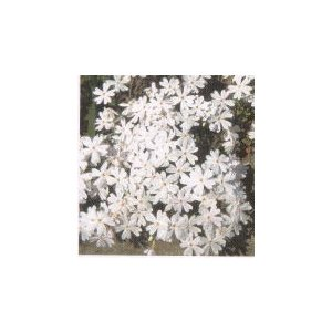 芝桜苗 モンブラン お買い得40本セット