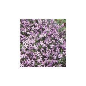 芝桜苗 オーキントンブルーアイ お買い得40本セット