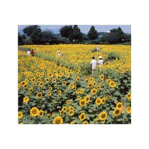 夏を代表する花、ひまわり。全国各地の道路沿線や公園の花壇、イベント会場に欠かせません。ハイブリッドサ...