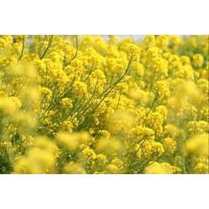 菜の花 1L