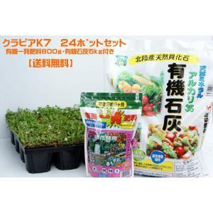 クラピアk7(白花) 9cmポット苗 24本セット(有機肥料・有機石灰付き)|nikkoseed2012