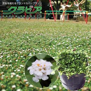 クラピアk7(白花) 9cmポット苗 24本セット(有機肥料・有機石灰付き)|nikkoseed2012|02