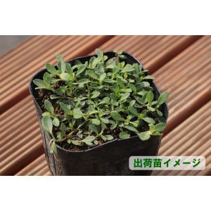 クラピアk7(白花) 9cmポット苗 24本セット(有機肥料・有機石灰付き)|nikkoseed2012|03