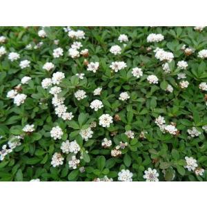 クラピアk7(白花) 9cmポット苗 24本セット(有機肥料・有機石灰付き)|nikkoseed2012|04
