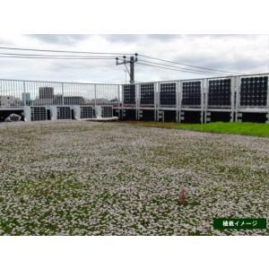 クラピアk7(白花) 9cmポット苗 24本セット(有機肥料・有機石灰付き)|nikkoseed2012|05