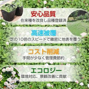 クラピアk7(白花) 9cmポット苗 24本セット(有機肥料・有機石灰付き)|nikkoseed2012|07