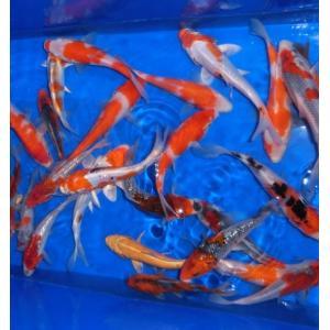 錦鯉ミックス 20cm前後 10尾セット|nishikigoiootani