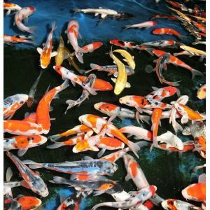 錦鯉ミックス 18cm前後 10尾セット|nishikigoiootani