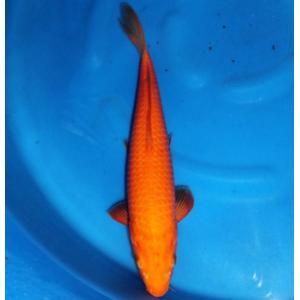 丸誠養鯉場産 緋鯉 31cm前後|nishikigoiootani