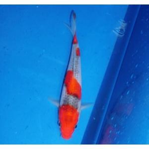 谷口養鯉場産 五色 17cm前後|nishikigoiootani