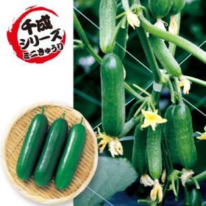 特性  ●果長9〜10cm、果重40g前後のミニキュウリ、イボのない光沢のある濃緑果で、揃い良く、着...