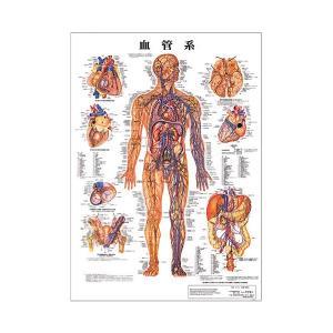 血管系 デスクサイズプラスチック版 ( ポスター )「 人体チャート 人体解剖図 」