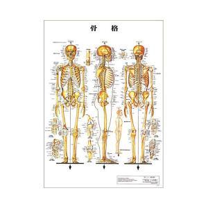 骨格 デスクサイズプラスチック版 ( ポスター )「 人体チャート 人体解剖図 」