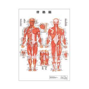 骨格筋 デスクサイズプラスチック版 ( ポスター )「 人体チャート 人体解剖図 」