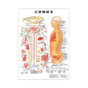 自立神経系 デスクサイズプラスチック版 ( ポスター )「 人体チャート 人体解剖図 」