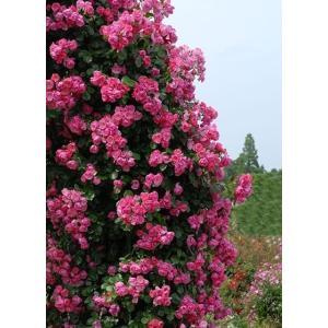 Angela 花色:ピンク 香り★☆☆ 四季咲き 花径6cm  桃色の椀咲きで花を隙間なくつけ、株は...
