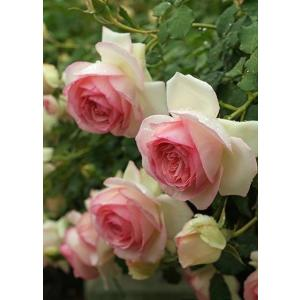 Pierre de Ronsard 白色に中心がピンク 香り★☆☆ 返り咲き 花径10cm  クラシ...