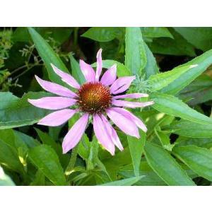 Echinacea Purpurea 学名:Echinacea purpurea キク科 ムラサキバ...