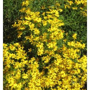 Lemon marigold 学名:Tagetes lemmonii 分類:キク科マンジュギク属/半...
