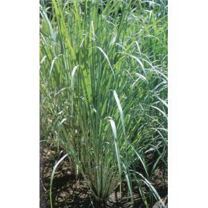 Lemon Grass 学名:Cymbopogon citratus 分類:イネ科・オガルカヤ属/多...