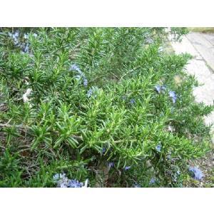 光を浴びた香りの葉 匍匐性で花壇の縁や斜面、ロックガーデン、壁面、ハンギングバスケットなどに向きます...