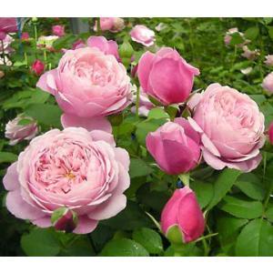 Chant Rose Misato 花色:ライラック 香り★★★ 四季咲き 花径8〜10cm 樹高、...