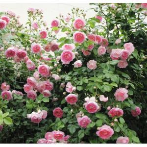 Jasmina 花色:ピンクで中心濃いピンク 香り★☆☆ 一季咲き 花径5〜7cm 伸長2〜3m  ...