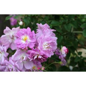 Spring Marchen(CHwdelicious) 花色:ライラック  香り:★★☆  返り咲...