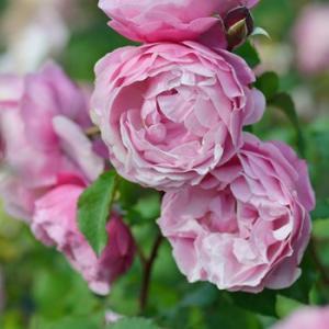 Saint Honire 花色:ライラックピンク  香り:★★★ 四季咲き   花径:6〜8cm、中...