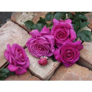 Chartreuse de Parme 花色:紫色 香り:★★★ 四季咲き 樹高、幅、樹形:1.2×...
