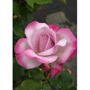 Lilac Beauty 花色:グレーがかったラベンダーピンクと赤藤色の覆輪 香り★★★ 四季咲き ...