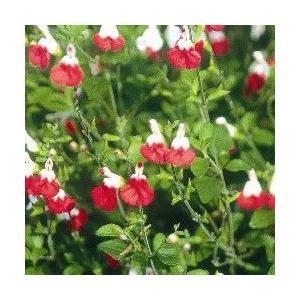 Cherry Sage'Hotlips'   学 名  Salvia greggii'Hotlips...