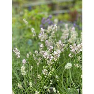 Lavandula 'Miss Katherine'  濃いライラックピンクの花で花穂が長く、花も多...