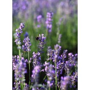 濃青紫色の多花性の新しい品種です。 花穂が長く、しっかりして香りがよい。 花壇や鉢植えに向いています...