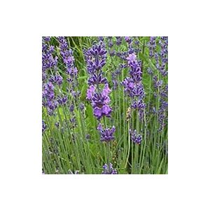 Lavandula angustifolia 'Rodonblue' 早咲きの品種で、バイオレットブ...