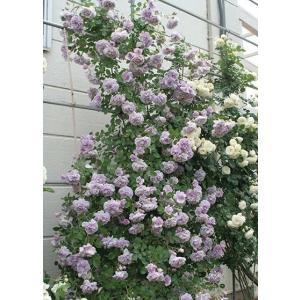 Rainny Blue 花色:藤色 香り:★☆☆ 四季咲き 花径:6cm  やさしいパールヴァイオレ...