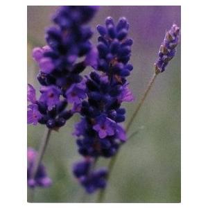 Lavandula spica 'Nana'  ヒドコートの花色とコンパクトさ。耐寒性にも優れていま...
