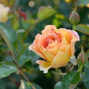 花色:オレンジ・黄複色 香り★★☆ 四季咲き 花径8〜10cm 樹高、幅、樹形:1.2×1.0m、シ...